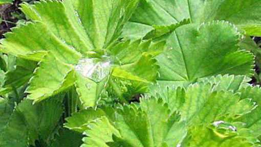 alchemilla-vulgaris Cambridge University Botanical Garden